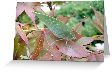 Katydid on a Japanese Maple by Paula Betz