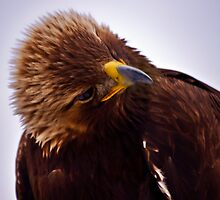Young Golden Eagle  by Sue Ratcliffe