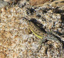 Elegant Earless Lizard ~ Male by Kimberly Chadwick