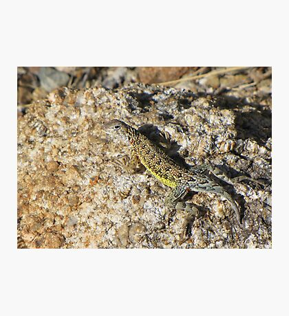 Elegant Earless Lizard ~ Male Photographic Print
