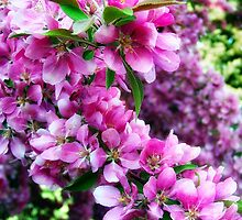 Cherry Blossoms 1 by rocamiadesign