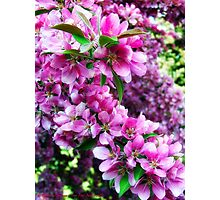Cherry Blossoms 1 Photographic Print
