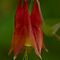 Eastern Red Columbine - Aquilegia canadensis by Megan Noble