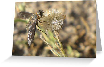 Bee Fly (family Bombyliidae) by Kimberly Chadwick