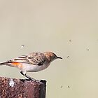 female crimson chat by birdpics
