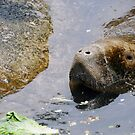 Manatee, Ah! by Barry Goble