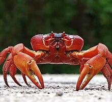 Red Crab (Male) At Blowholes by Kee Seng FOO