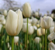 Tulip Time_Bowral by Sharon Kavanagh