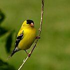 Male Gold Finch Posing by Sheryl Gerhard