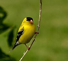 Male Gold Finch Posing by Sheryl Gerhard
