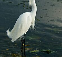 Snowy Egrets are my favorite by Robert H Carney