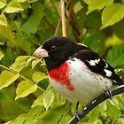Male Rose-breasted Grosbeak by Sheryl Langston