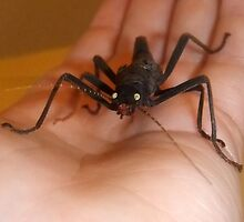 Betty - My Black Beauty Stick Insect by Michaela1991