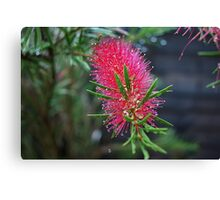 Blooming Bottle Brush Canvas Print
