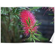 Blooming Bottle Brush Poster