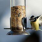 Bluetit landing on the bird feeder by laurawhitaker