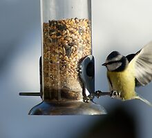 Bluetit landing on the bird feeder by laurawhitaker