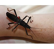 Black Beauty Stick Insect Photographic Print