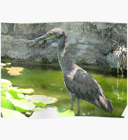 Little Heron Watcher Poster