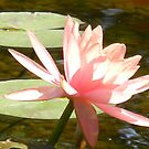 Lights of the Water Lily by Navigator