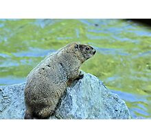 Groundhog Along The River Photographic Print