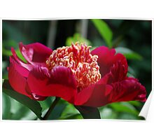 Red single-petaled peony Poster