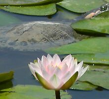 Surprise in the Water Lilies by Navigator