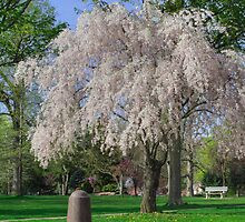 April Blossoms Decorate Brandon Park by Gene Walls