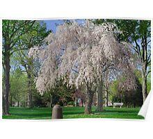 April Blossoms Decorate Brandon Park Poster