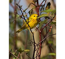Yellow Warbler - Sensiba State Wildlife Area Photographic Print