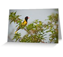 Black-hooded Oriole Greeting Card