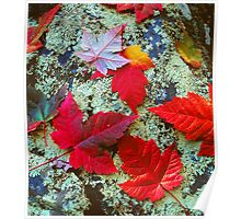MAPLE LEAVES ON LICHEN COVERED BOULDER Poster