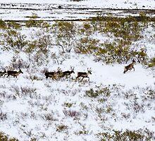 Caribou by mcstory