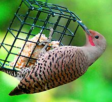 Northern Flicker by Tori Snow