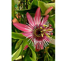Pink Passion Flower Photographic Print
