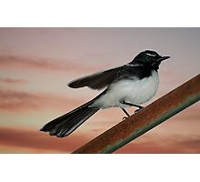 Willy Wagtail 2 Photographic Print