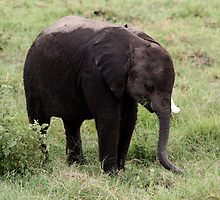 Out of Africa - A Wee Bit Shy by Sally Haldane