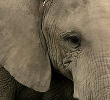 Out of Africa - Elephant Close Up by Sally Haldane