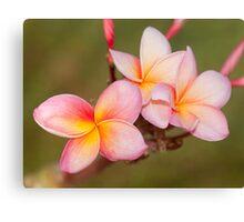Tropicana - frangapani flower Canvas Print