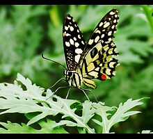 Common Lime Butterfly by Sujith Naik