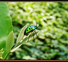 Spotted cucumber Beetle by Sujith Naik