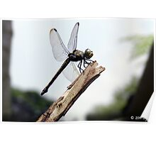 Damsel fly Poster