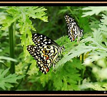 Common Lime Butterflies by Sujith Naik