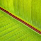 Banana Leaf by Photogothica