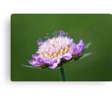 """Pincushion Flower"" – Scabiosa Columbaria Canvas Print"