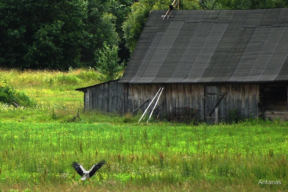 Stork is farmstead friend by Antanas
