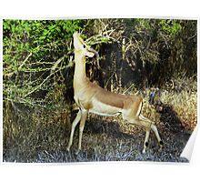 Impala Browsing - Kruger National Park Poster