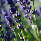 Lavender Caught in the Breeze by William Martin