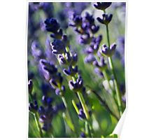 Lavender Caught in the Breeze Poster