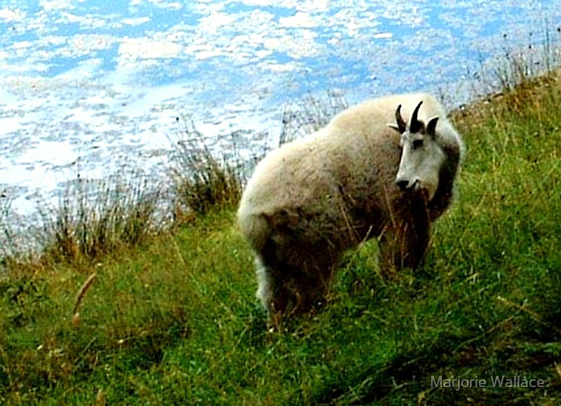 Mountain Goat by Marjorie Wallace
